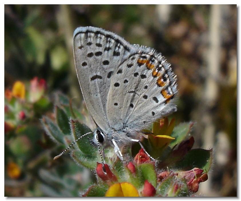 acmon blue butterfly   male